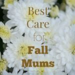 fall mum care