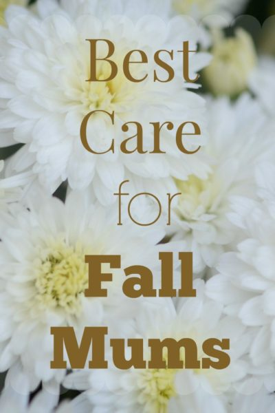 Fall Mum Care- How to Care for Your Fall Mums